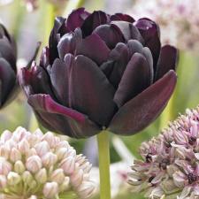 "Tulpės ""BLACK HERO"""