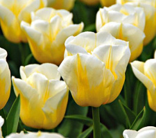 "Tulpės 'CALGARY FLAME"""