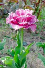"""Tulpės """"MATCHPOINT"""""""