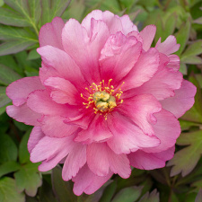 """Bijūnas """"PINK DOUBLE DANDY"""" (Itoh)"""