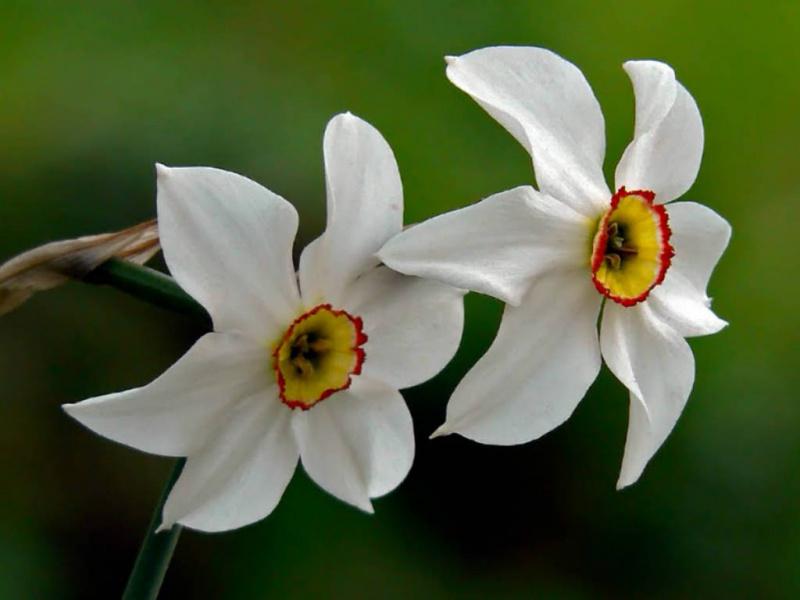 Narcizas Poetinis (Narcissus recurvus)