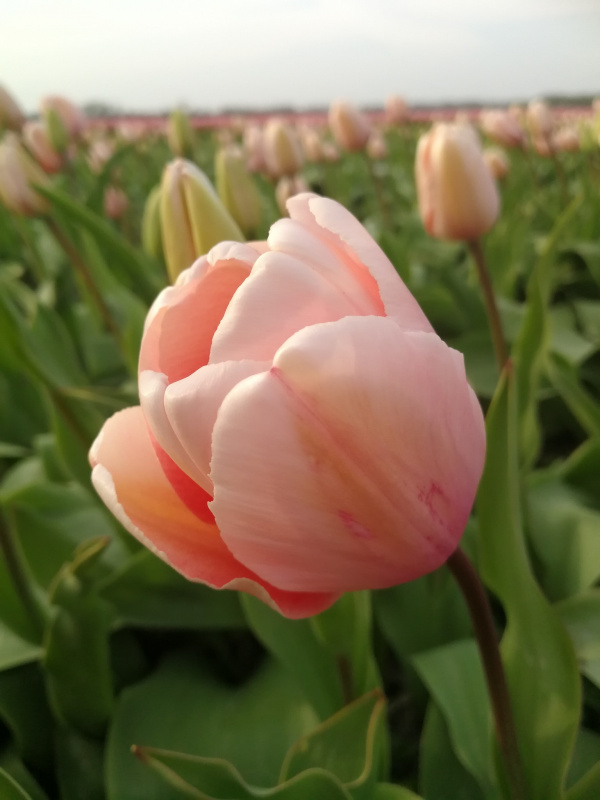 "Tulpės 'SALMON IMPRESSION"""